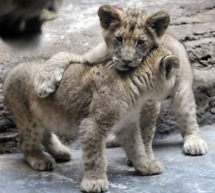 Anh em nhà sư tử